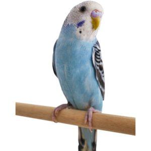 hq-quality-cute-parakeet-photos112160-left-2