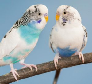 hq-quality-cute-parakeet-photos1200-91914991-parakeets
