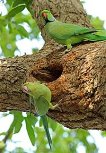 hq-quality-cute-parakeet-photos220px-male_and_female_parakeet_1