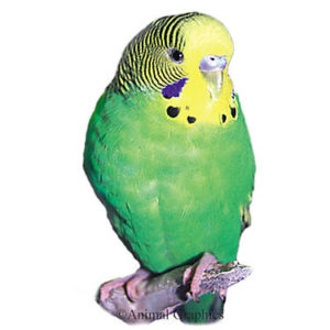 hq-quality-cute-parakeet-photos4041019