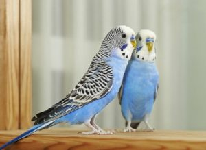 hq-quality-cute-parakeet-photos474589217
