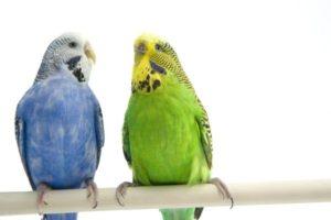 hq-quality-cute-parakeet-photos79168149