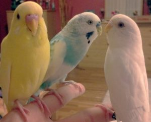 hq-quality-cute-parakeet-photos8185128_f520