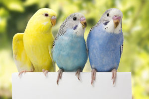 hq-quality-cute-parakeet-photosfotolia_128062407_m-1