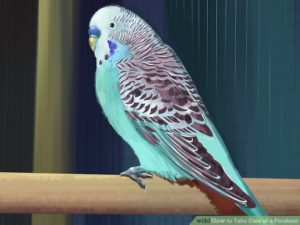 hq-quality-cute-parakeet-photosaid20329-v4-728px-take-care-of-a-parakeet-step-2-version-5