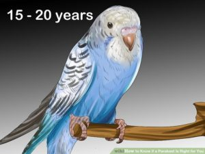 hq-quality-cute-parakeet-photosaid9022349-v4-728px-know-if-a-parakeet-is-right-for-you-step-5