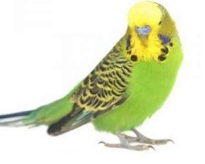 hq-quality-cute-parakeet-photosblack-budgerigar-parakeet-for-sale