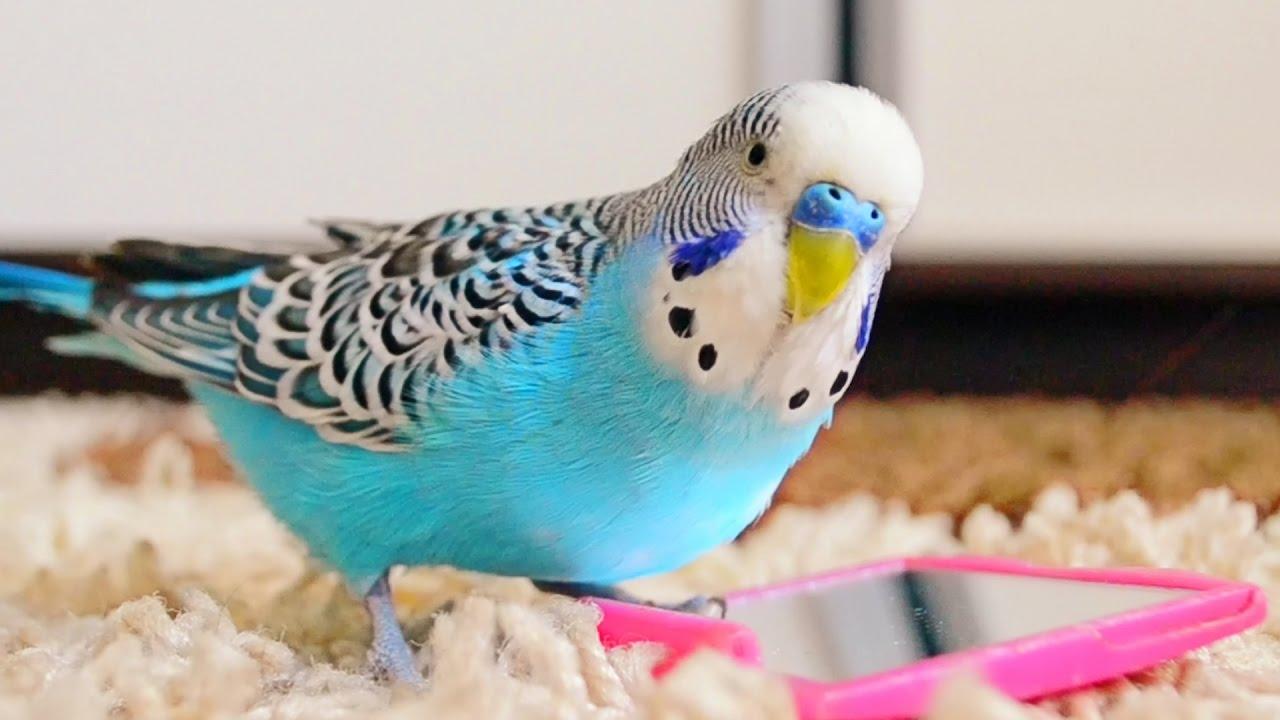 hq-quality-cute-parakeet-photosmaxresdefault