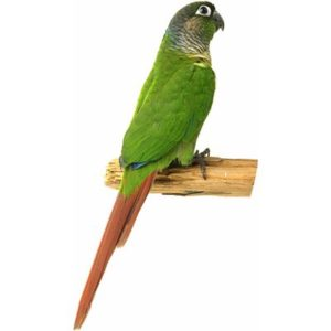 hq-quality-cute-parakeet-photosparakeet-1