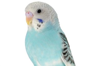 hq-quality-cute-parakeet-photosparakeet-8