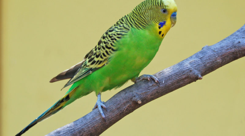 hq-quality-cute-parakeet-photosparakeet