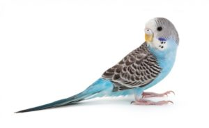 hq-quality-cute-parakeet-photosparakeet-budgerigar-blue