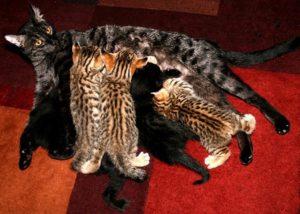 mokave-jag-cats_3