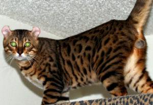 mokave-jag-cats_4
