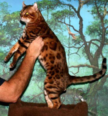 24 Best Mokave Jag Cat Images Fallinpets