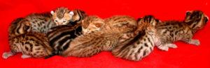 mokave-jag-cats_8