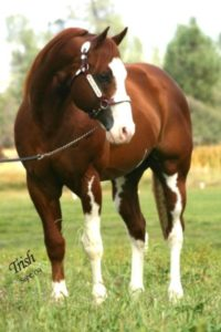 the-american-quarter-horse-is-an-american-breed-of-horse3eea19dfede9867f74597454d4173a4a
