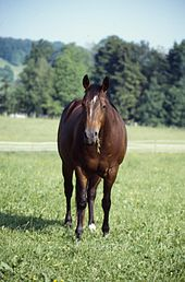 the-american-quarter-horse-is-an-american-breed-of-horsebrauner