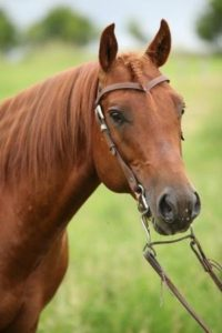 the-american-quarter-horse-is-an-american-breed-of-horseqh-horse-pic