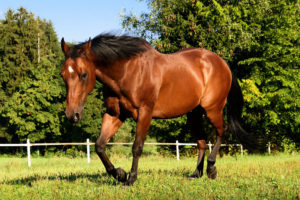 the-american-quarter-horse-is-an-american-breed-of-horseamerican-quarter-horse