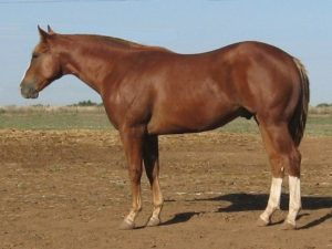 the-american-quarter-horse-is-an-american-breed-of-horsecutting-horse-sales-85