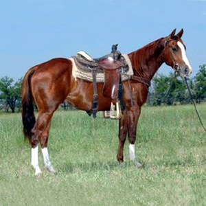 the-american-quarter-horse-is-an-american-breed-of-horsequarter-horse-profile