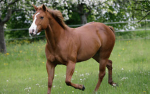 the-american-quarter-horse-is-an-american-breed-of-horsequarterhorse-main-photo