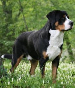 large-dog-breeds5