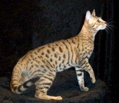 serengeti-cat_10