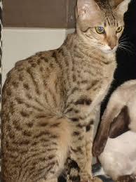 serengeti-cat_19