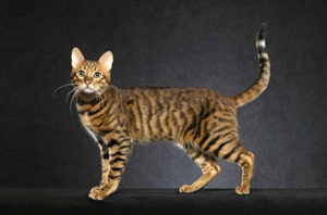 serengeti-cat_2