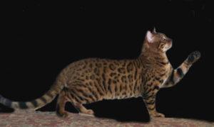 serengeti-cat_24