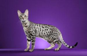 serengeti-cat_4