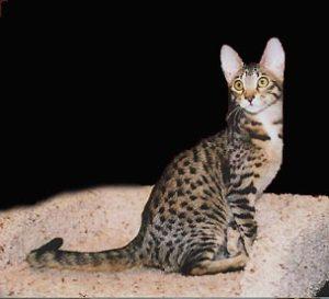 serengeti-cat_5