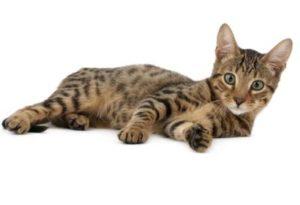 serengeti-cat_6