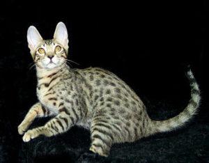 serengeti-cat_7