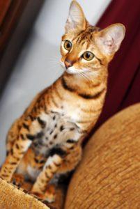 serengeti-cat_8
