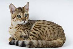 serengeti-cat_9