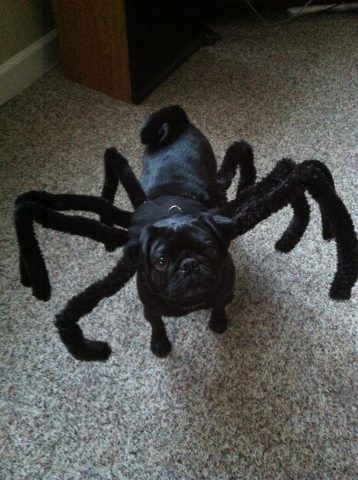 Photos Of Pugs In Halloween Costumes Prove That Pug O Ween Is The