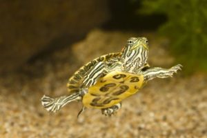 pet-turtles_012