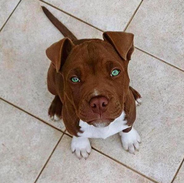 Pit Bull Puppies Cute Pictures