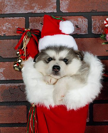 Husky Christmas Puppy.42 Of The Cutest Christmas Puppies Fallinpets