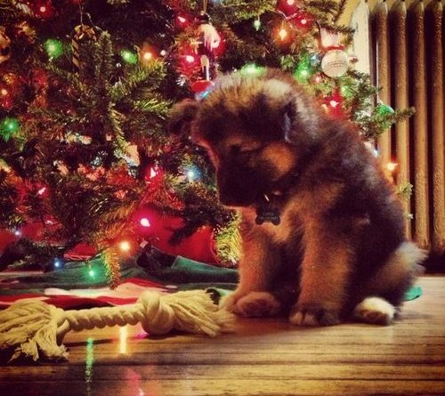 the-cutest-christmas-puppies-192886811038281783