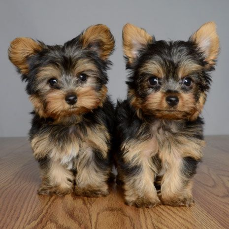 "Yorkshire Terrier ""Yorkie"" Puppies"
