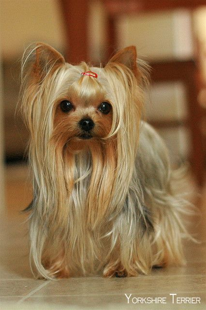 """35 Yorkshire Terrier """"Yorkie"""" Puppies You Will Love 