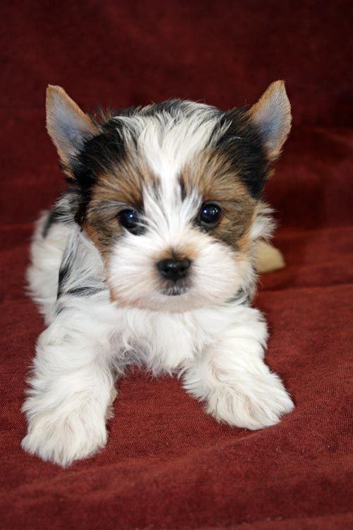 "Yorkshire Terrier ""Yorkie"" Puppies"