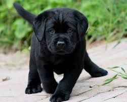 cute-labrador-puppies-that-will-melt-your-heart-1