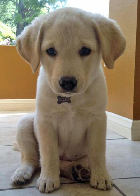 cute-labrador-puppies-that-will-melt-your-heart-11