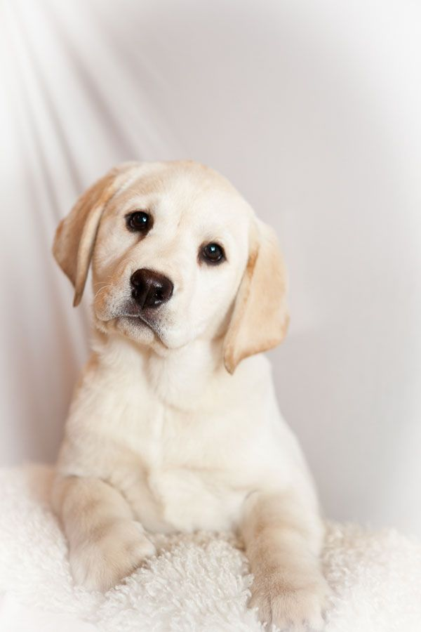cute-labrador-puppies-that-will-melt-your-heart-12