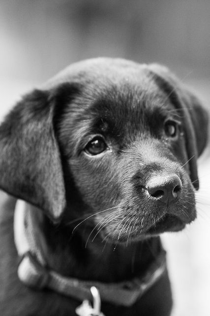 cute-labrador-puppies-that-will-melt-your-heart-13